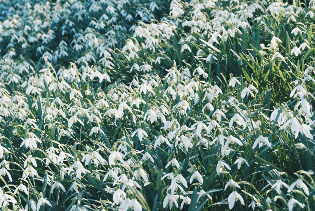 snow drops, english flowers, camping adventure