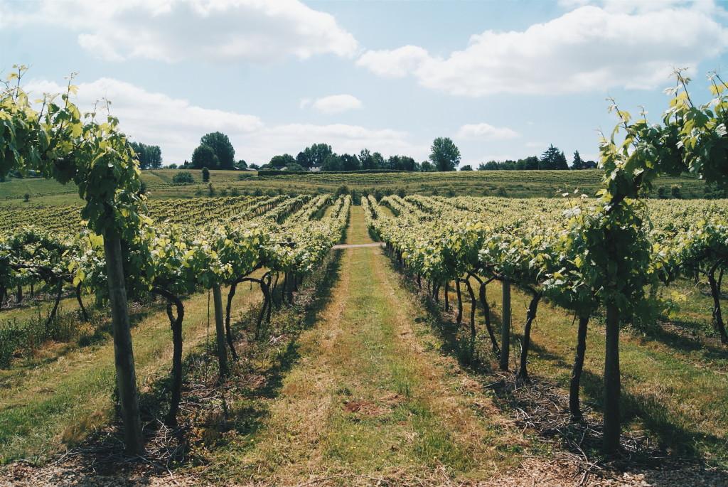 british vineyards, vineyard in the UK, english wine