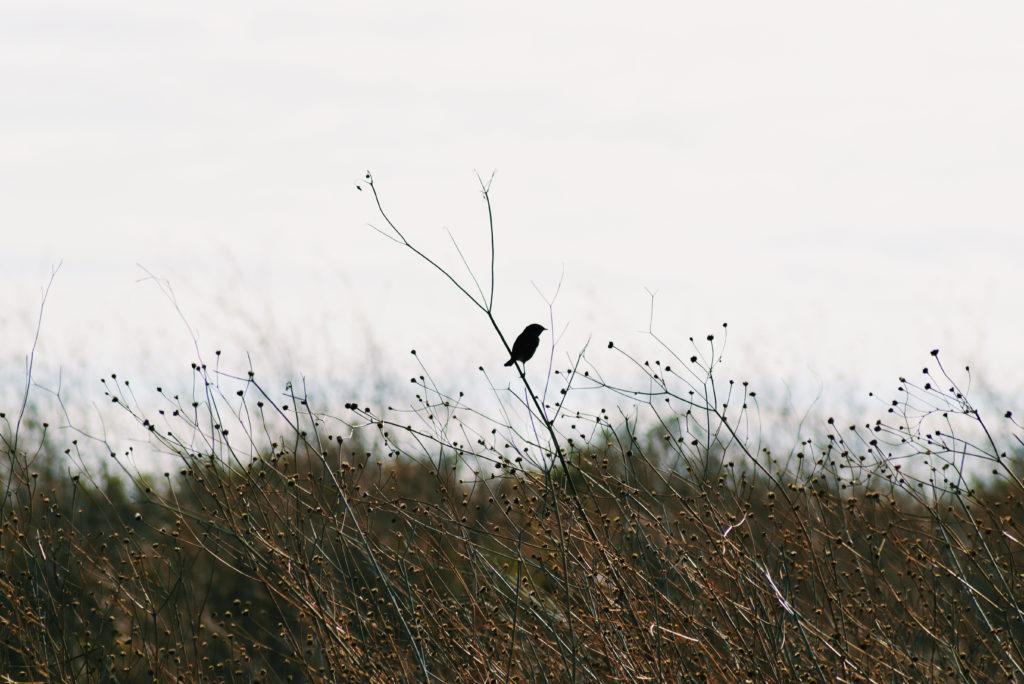 alvor boardwalks, alrgarve birding